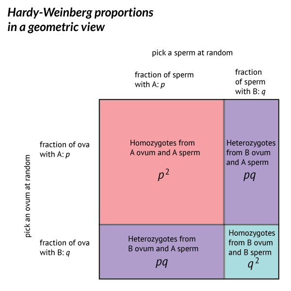 Geometric presentation of the Hardy-Weinberg proportions