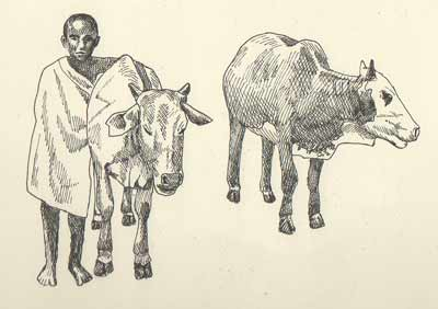 African cattle with boy
