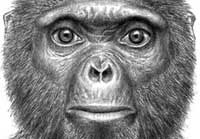 Matternes reconstruction of face of Ardipithecus