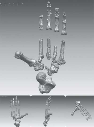 Ardipithecus foot CT