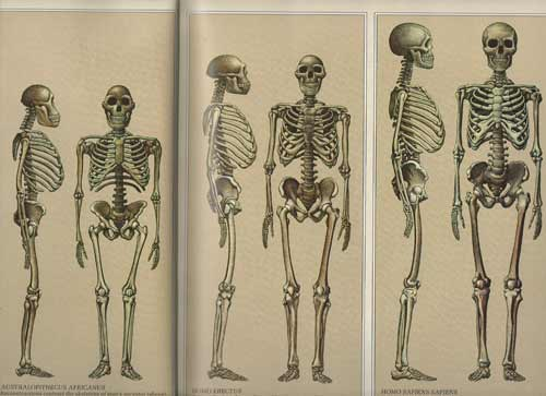 Body proportions of fossil hominins, from 1973