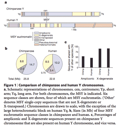 Chimpanzee compared to human Y chromosome
