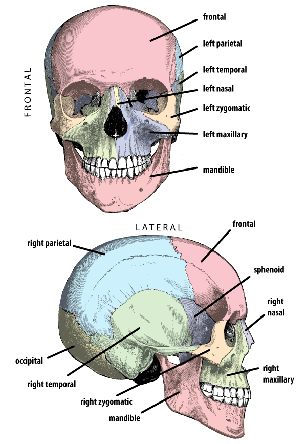 Cranium with bones labeled in anterior and lateral view