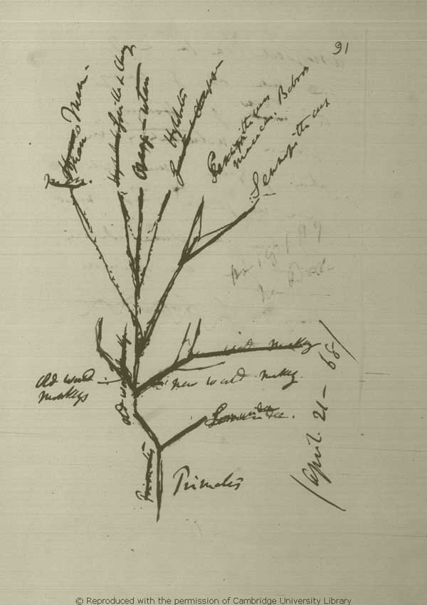 Darwin manuscript page with primate phylogeny illustrated