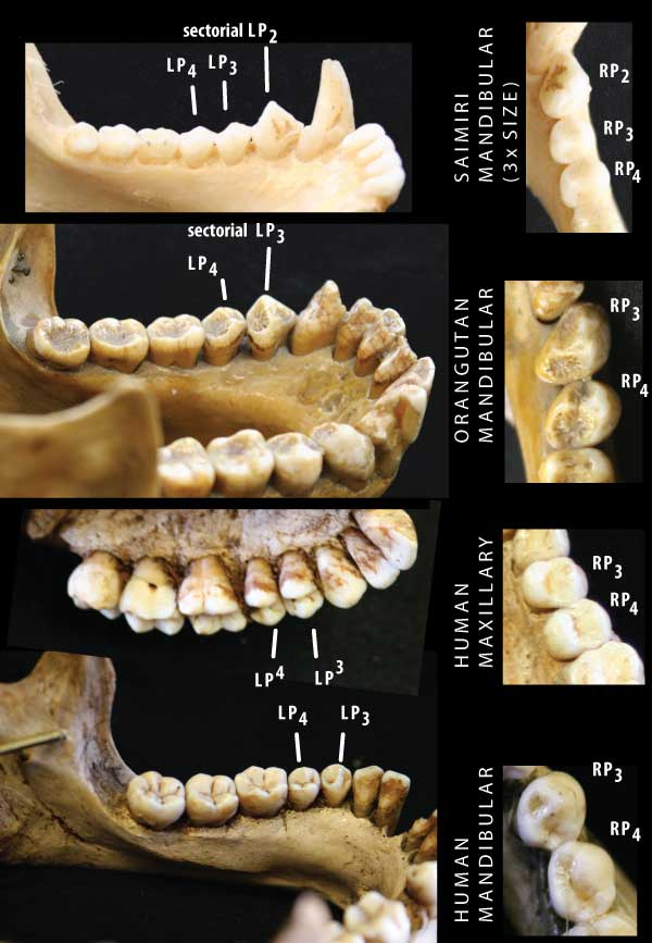 is there any way of predicting which primates have three premolars in each quadrant what determines whether the mandible has a sectorial p3