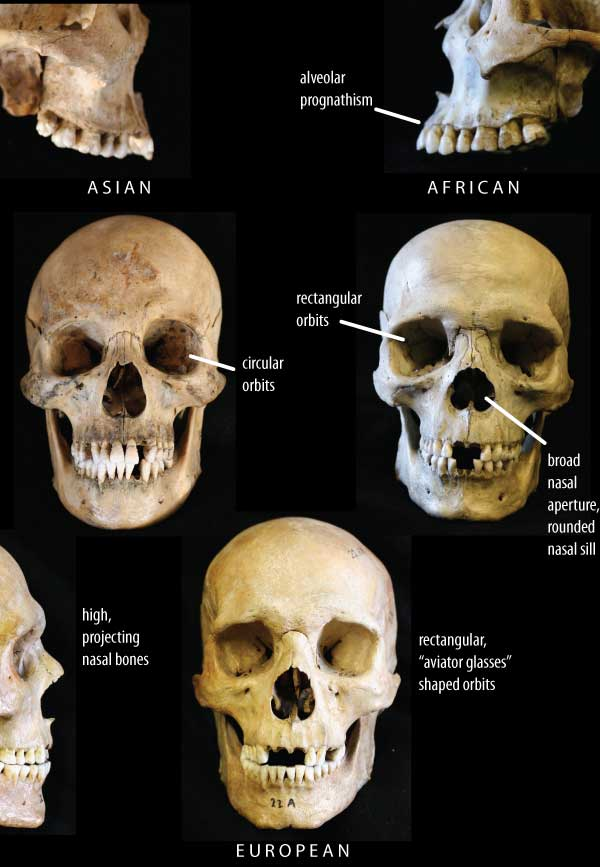 Cranial features and race · john hawks weblog