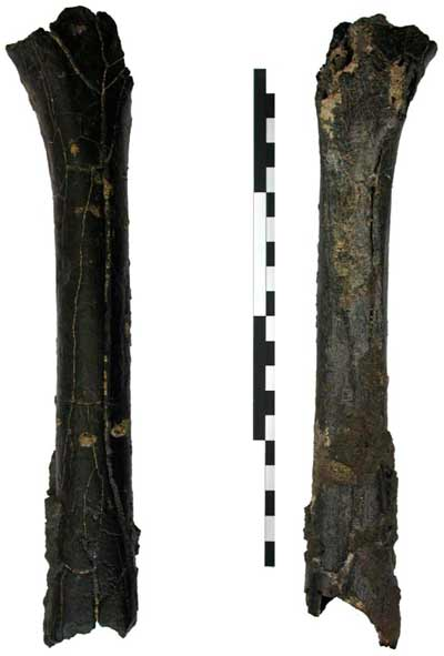 Purported primate femur found at TM 266