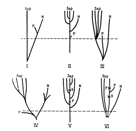 Vallois 1954, figure 4, showing position of Piltdown on human phylogenies