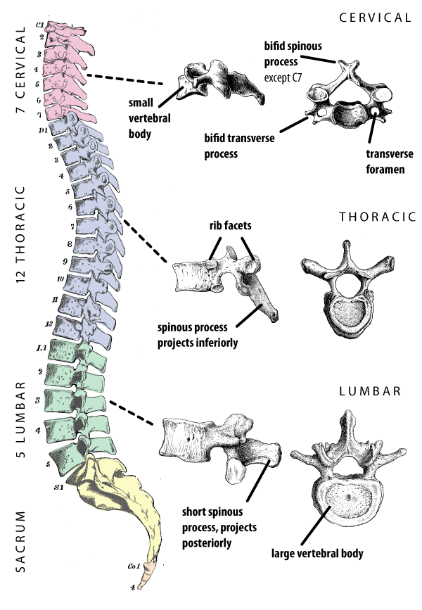 while the thoracic spine  Labeled Thoracic Vertebrae