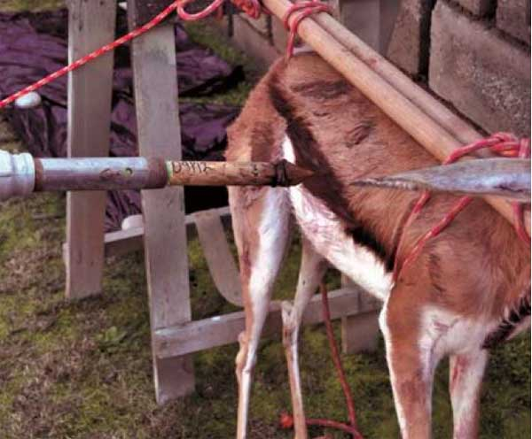 Springbok used in experimental archaeology