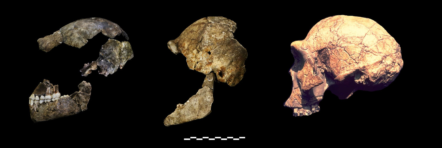 DH1 and DH3 of Homo naledi compared to KNM-ER 3733 of Homo erectus