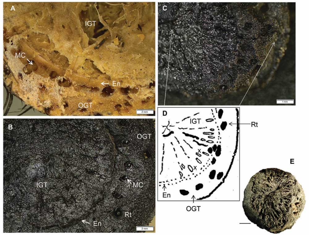 Charred evidence of rhizomes from Border Cave, from Wadley et al. 2020
