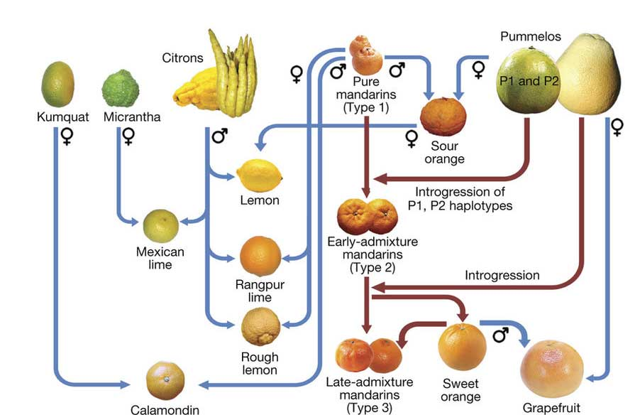 Hybridization and origins of different varieties of citrus fruits