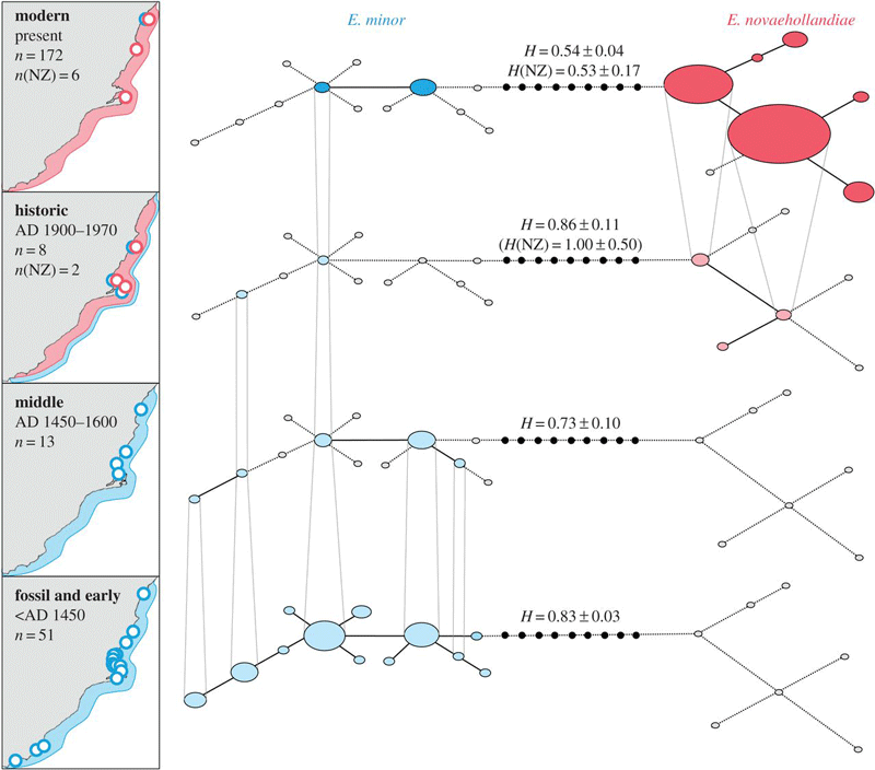 Figure from Grosser et al showing haplotype network for penguin mtDNA