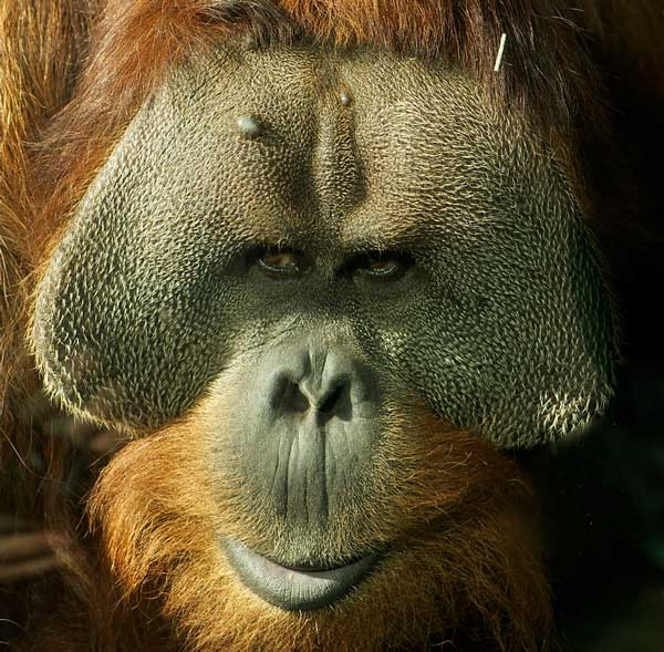 Orangutan male with facial flanges