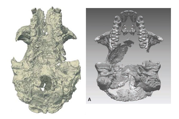 Sahelanthropus (left) compared to Ardipithecus (right), cranial base